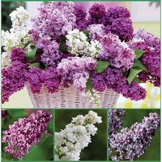 Fragrant Double Lilac Collection 3 varieties of Lilacs 6 perennial plants in total Garden Seeds, Garden Plants, Lilac Bushes, Syringa, Wallpaper Samples, Dream Garden, Yard Landscaping, Garden Planning, Hydrangea