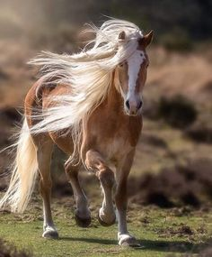 This picture is a horse picture. We publish horse photos Horse Photos, Horse Pictures, All The Pretty Horses, Beautiful Horses, Animals And Pets, Cute Animals, Haflinger Horse, Majestic Horse, Draft Horses