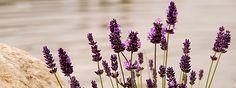 Sommertipps | Lindert Juckreiz Bei Mückenstichen sind die Ätherischen Öle von Lavendel, Pfefferminze und Teebaum eine gute Hilfe. Unkompliziert in der Anwendung und immer in der Handtasche dabei ist der Roll-On Klarer Kopf: Er ist eine sehr wirksame Hilfe nach Insektenstichen, da Pfefferminze eine Juckreiz lindernde, kühlende und schmerzstillende Wirkung hat. Cooler Tipp bei Mückenstichen: Körperspray In eine Flasche (Fassungsvermögen 30 ml, mit Sprühaufsatz) 30 ml Rosenwasser* bio und (..)