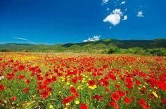 Poppies field Halkidiki - Macedonia