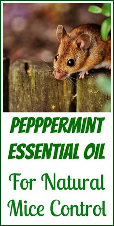 How to use peppermint essential oil to repel mice and potentially prevent them from nesting in your house.