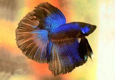 Beta Siamese Fighting Fish, can now be see at ..  Joseph-Frank-Baraba.fineartamerica.com