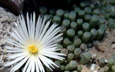 Fenestraria rhopalophylla - Palce niemowląt