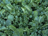 Land cress is a peppery tasting watercress substitute, ready to eat in seven to eight weeks after sowing. It is rich in vitamins, iron and calcium and provides a continuous supply over a long period--an excellent winter vegetable here in Sacramento (zone 9)