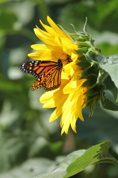Monarch and Sunflower by ~CASPER1830 on deviantART