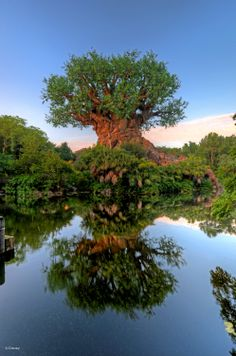 Walt Disney World - Animal Kingdom - Tree reflection