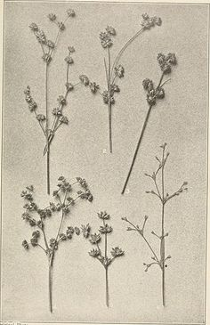 The plants of southern New Jersey; with especial reference to the flora of the pine barrens and the geographic distribution of the species (1911) (14782102864).jpg