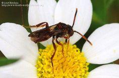 Título: A determinar 2/2, Descripción: Apiforme, Anthophoridae, Nomadinae... libando en una compuesta., Provincia/Distrito: Jaén, País: España, Fecha: 12/05/2012, Autor/a: José Biedma, Id: 396234