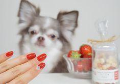 🍓💅🏻🐶🐾 * * いちごネイルと苺とイチゴのおやつ♡ฅU•ﻌ•Uฅ イチゴのおやつは8歳で初めてバレンタイン、うーちゃん(@polty73 )から貰ったんだよ☆\(^-^)/ * Changed nail yourself. Strawberry nail. * * #🐶 #犬 #いぬ #イヌ #わんこ #dog #チワワ #ちわわ #愛犬 #chihuahua #east_dog_japan #todayswanko #pecoいぬ部 #instachihuahua #instadog #instagram #dogstagram #petstagram #dogoftheday #animal #ilovemydog #chihuahuasofinstagram #cutedog #dogs_of_instagram #IGersJP #写真撮ってる人と繋がりたい #写真好きな人と繋がりたい #東京カメラ部 #カメラ女子 #cute