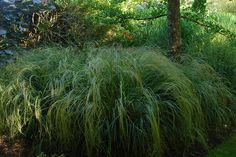 Anemanthele lessoniana | Knoll Gardens | Ornamental Grasses and Flowering Perennials