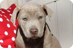 Yardley, PA - American Staffordshire Terrier/American Bulldog Mix. Meet Clay, a puppy for adoption. http://www.adoptapet.com/pet/17499308-yardley-pennsylvania-american-staffordshire-terrier-mix