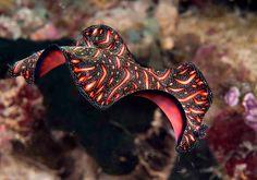 My name is Hans Gerd Broeder, also called 'Bunaken Hans'. Three to four times a year I'm traveling to Indonesia, North-Sulawesi on the island Bunaken. Underwater Photographer, Underwater Photos, Life Under The Sea, Salt Water Fish, Sea Snail, Sea Slug, Saltwater Aquarium, Ocean Creatures, Tier Fotos