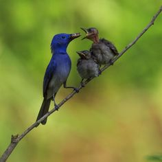 Black-naped Blue Flycatcher - Male, feeding babies by Paola114