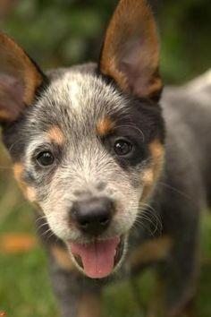 Blue Heeler Puppy Training <3  :)