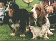 Basset Hounds, Dude should we chase that tennis ball? Naw Dude,just chill.  Cool