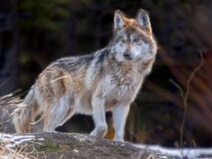 States versus feds: Mexican gray wolf at center of endangered species debate Coyote Hunting, Archery Hunting, Hunting Baby, Baby Wolves, Red Wolves, Wolf Population, Deer Hunting Blinds, Beautiful Wolves, Bull Riding