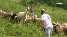 The Swiss authorities are experimenting with a new way of protecting sheep flocks from wolves: llamas could be used in some cases to replace protection dogs,. Ted Talks Video, Llamas, Predator, Wolves, Animal Pictures, Sheep, Donkey, Farm Life, Dogs