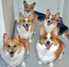 i should probably have a herd of corgis