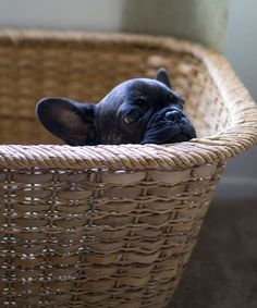 baby frenchie in a basket