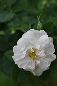 Rosa alba semi-plena AKA 'White Rose of York' (origins unknown, before 1629)