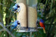 0cf5cbe5bf186ca0f14954816d6d953e How To Attract Indigo Buntings To Your Backyard