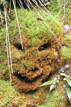 You can see moos goblins on the Heaphy Track in Kahurangi National Park.