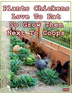 Plants Chickens Love To Eat So Grow Them Next To Coops - Free Chicken Food - Homesteading - The Homestead Survival Chicken Garden, Chicken Life, Backyard Chicken Coops, Chicken Runs, Backyard Farming, Chickens Backyard, Chickens In Garden, Small Chicken Coops, Chicken Coop Run