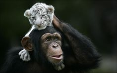 pictures of a chimpanzee playing with two white tiger cubs. The text claims that the cubs were separated from their tiger mother because of Hurricane Hannah and that the chimpanzee has become their surrogate parent. White Tiger Cubs, White Bengal Tiger, White Tigers, Cute Images, Cute Photos, Photos Singe, Unlikely Animal Friends, Tiger Moms, Monkey Pictures