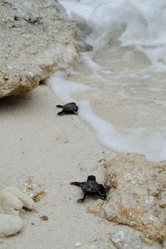 baby turtles making their way out to sea