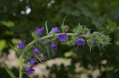 nature,fleurs,herbier,vipérine,photos