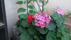 Gerânio, suas primeiras flores com 4 meses de plantio.