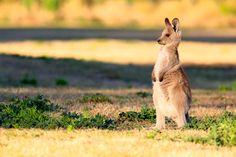 Joey (eastern grey kangaroo) by Peter Estment on 500px