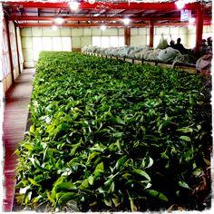 Somerset Factory, Dilmah