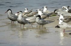 Bird Photos, Birding Sites, Bird Information: WHISKERED TERN, CHOBE RIVER, BOTSWANA