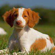 El Perros y Sus Razas: Breton Español
