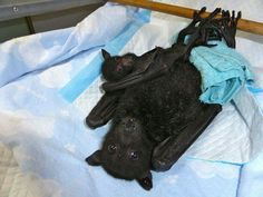 Injured mother nurses son despite broken ribs. Bats are very loyal mothers. Via Baby Bats and Buddies of Bats on Facebook.