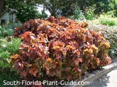 Copper Plant (Copperleaf) Acalypha wilkesiana One of the prettiest South Florida shrubs is copper plant - or copperleaf - with its striking, brightly-colored leaves.