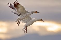 Snow Geese Photo by Paul Yates -- National Geographic Your Shot