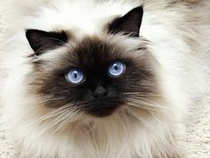 Cat Drawing, All Pictures, Kitty, Cats, Lei, Marshmallow, Animals, Balinese Cat, Otters