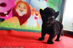 Are You Terrified Yet? Black Panther Cub Does Its Best To Terrify  (PHOTOS)