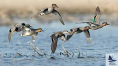 Green-winged Teal Quail Hunting, Waterfowl Hunting, Duck Hunting, Duck Identification, Duck Mount, Duck Species, Duck Pictures, What The Duck, Duck Art