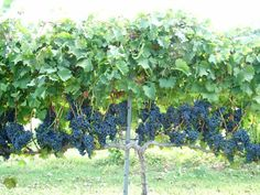 Prayer Garden Grapes Production - Training and Trellising Grape Vines Backyard Vineyard, Grape Vineyard, Grape Vine Trellis, Grape Vines, Fruit Garden, Edible Garden, Farm Gardens, Outdoor Gardens, Grape Arbor