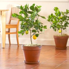 Dwarf Fruit Trees: How To Grow Citrus Indoors