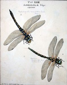 scientific illustration, Moses Harris: An exposition of English insects . minutely described, arranged, and named, according to the Linnaean system London: 1782 Nature Illustration, Botanical Illustration, Dragonfly Illustration, Botanical Drawings, Botanical Prints, Sibylla Merian, Dragonfly Art, Dragonfly Clipart, Dragonfly Painting