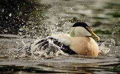 Eider bath - Gary Jones Wildlife Photography