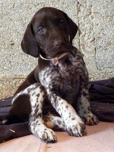 Sweet German Shorthaired Pointer puppy
