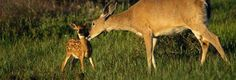 mom deer with fawn