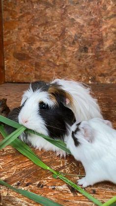 Pet Guinea Pigs, Guinea Pig Care, Pig Breeds, Guniea Pig, Fluffy Animals, Hamsters, Adorable Animals, Flora, Essentials