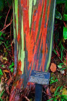 A real tree, the rainbow eucalyptus