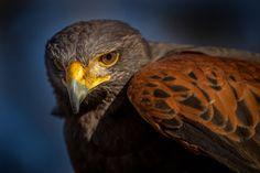 Harris Hawk by T. C. (Thomas Conrad) on 500px